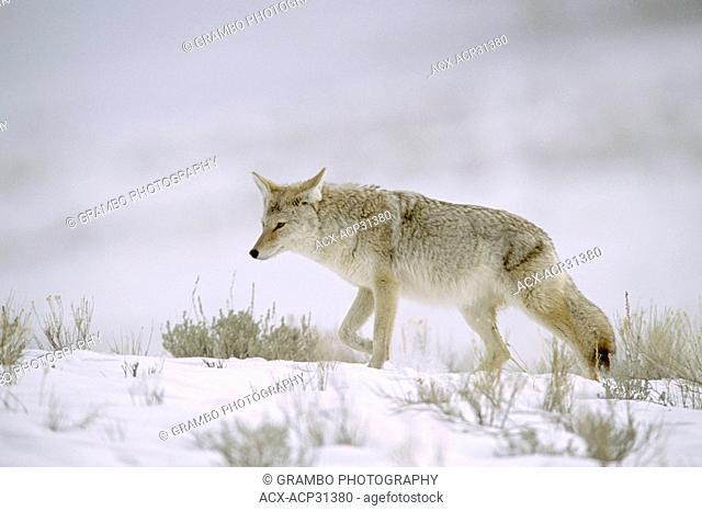 Coyote Canis latrans hunts on snowy plains