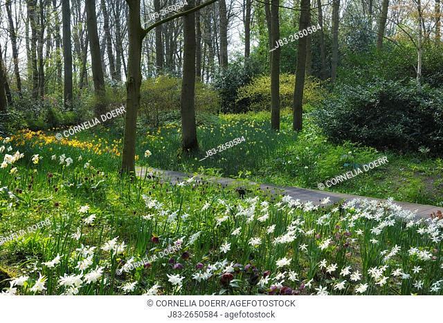 Park mit Frühjahrsblumen, (Narzissen) . Keukenhof Gardens, Lisse, Holland, Netherlands, Europe