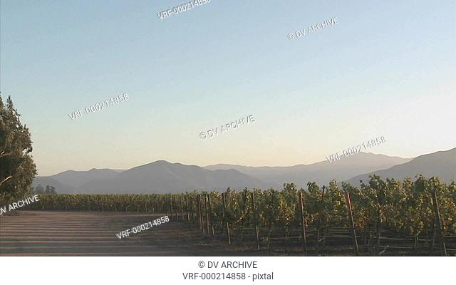 Pan across a Salinas Valley vineyard in the Monterey County wine country of California