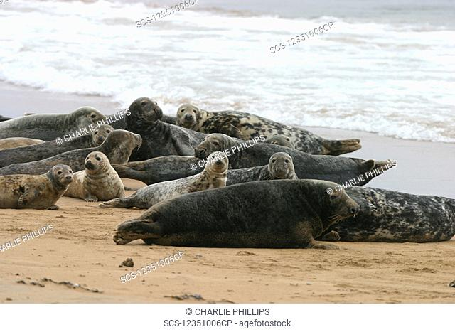 Atlantic grey and Common seals at same haul out site with males, females and pups NE Scotland RR