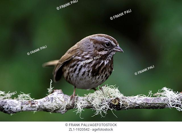 The Song Sparrow  Melospiza Melodia is a medium-sized American sparrow  Among the native sparrows in North America, it is easily one of the most abundant