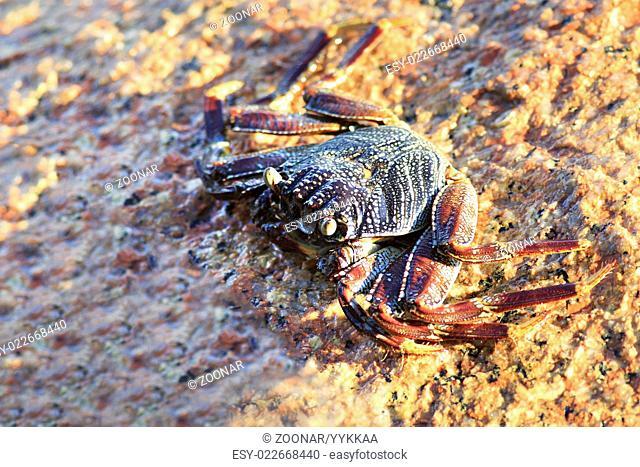 Crab on granite boulders of Indian Ocean