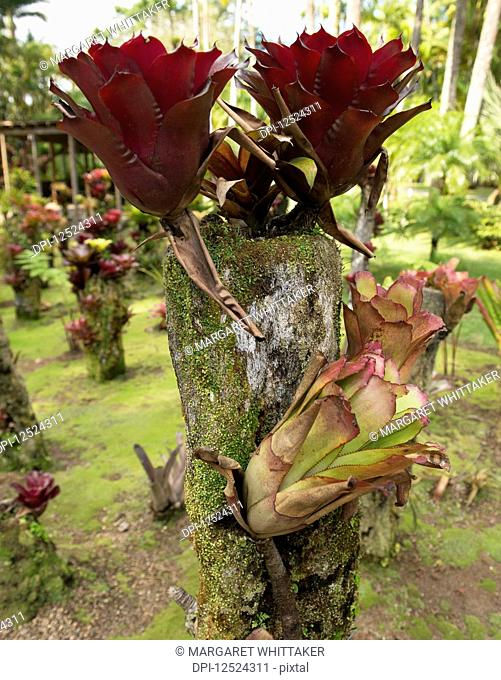 Bromeliads growing in Balata Botanical Gardens; Fort-de-France, Martinique