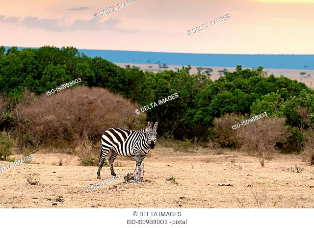 Zebra (Equus quagga), Masai Mara, Kenya