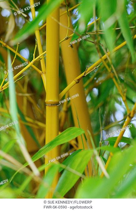 Bambusa, Bamboo