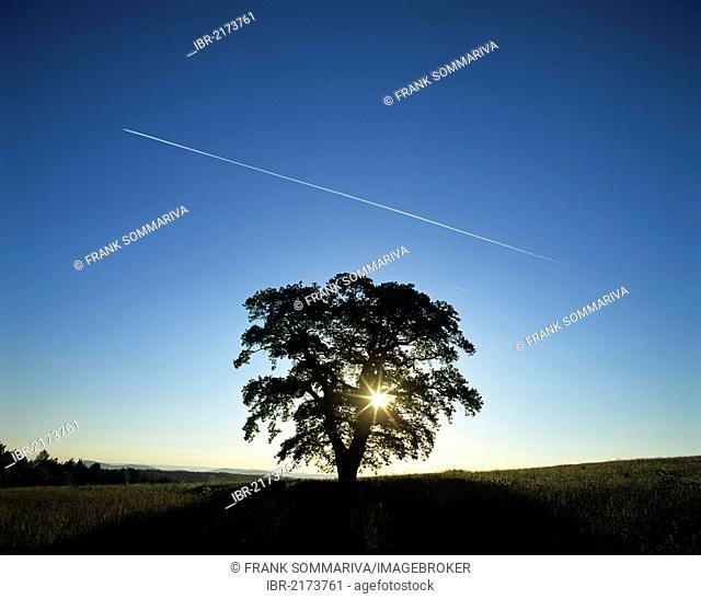 Solitary oak tree (Quercus robur), solitary tree on a meadow, silhouetted at sunrise, bright blue sky and contrails, Thuringia, Germany, Europe