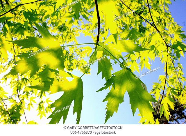 green sugar maple leaves on a tree with blue sky in the background
