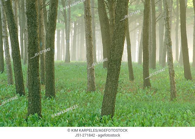 Tree trunks on a foggy morning. Harvard, Illinois. USA