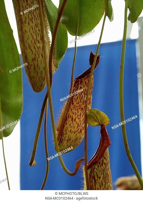 Nepenthes spec , pitcher plant