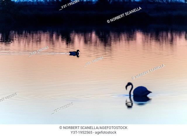 Europe, France, Var, Giens Peninsula. Salins Pesquiers. Wild Duck and flamingo