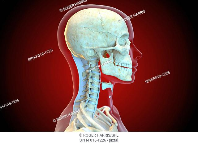 Ligaments of the human neck, illustration