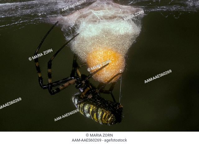 Banded Argiope Spider covering Eggs with Silk, Canada