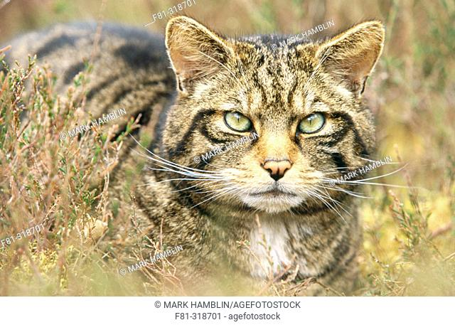 Scottish wildcat (Felis silvestris). Close-up portrait. Scotland. UK