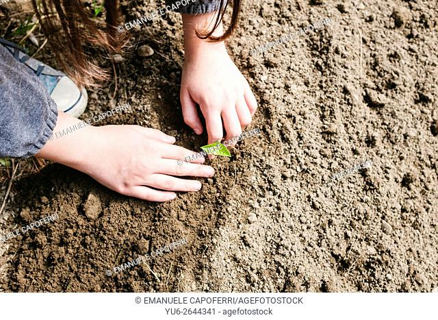 Child's hands plant small seedling in the garden