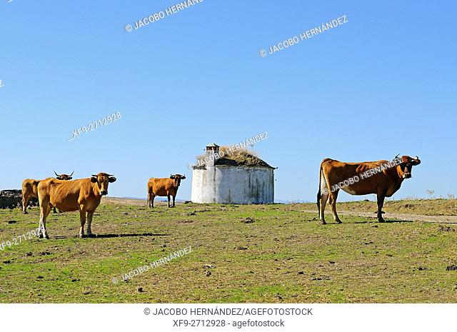 Cows and hut.Alcántara.Cáceres province.Extremadura.Spain