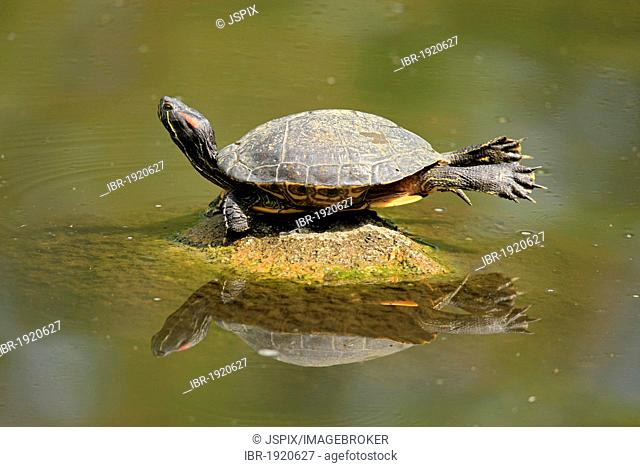 Red-eared slider (Trachemys scripta elegans), sunbathing on rocks in water, Mannheim, Germany, Europe