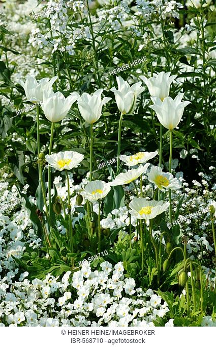 White flower composition: tulips, poppies, pansies