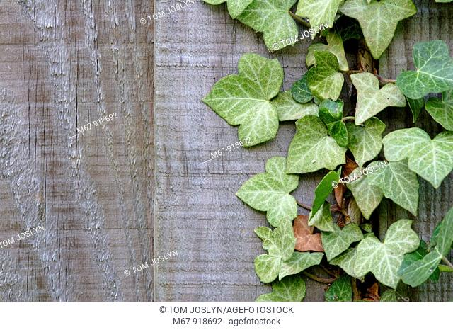 Ivy Hedra helix climbing up wooden fence close up England UK