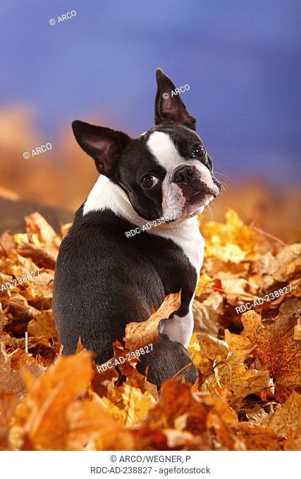 Boston Terrier / autumn foliage