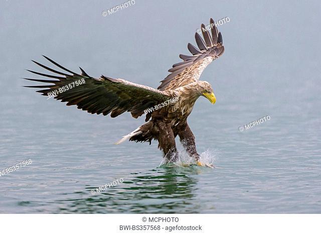 white-tailed sea eagle (Haliaeetus albicilla), hunting sea eagle in flight