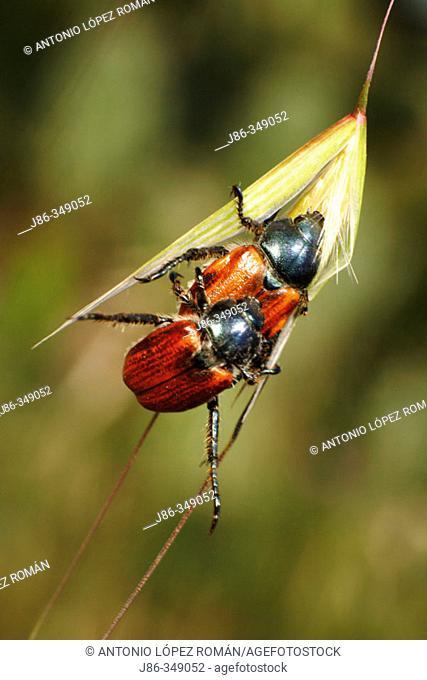 Beetles (Phyllopertha horticola) mating