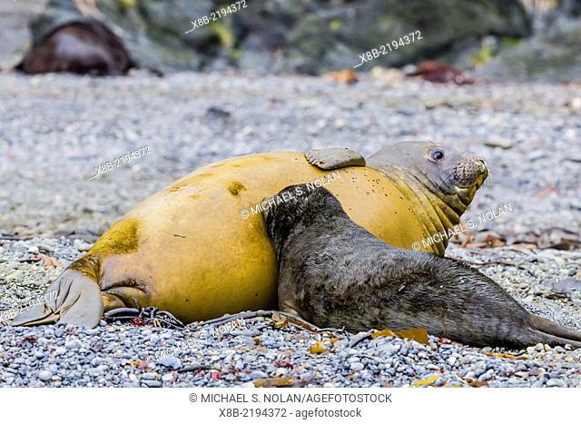 Southern elephant seal, Mirounga leonina, mother nursing pup at Elsehul, South Georgia, UK Overseas Protectorate