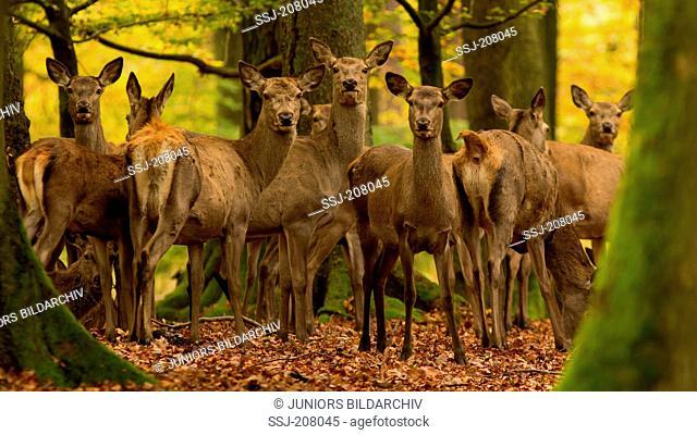 Red Deer (Cervus elaphus). Group in autumnal forest. Germany