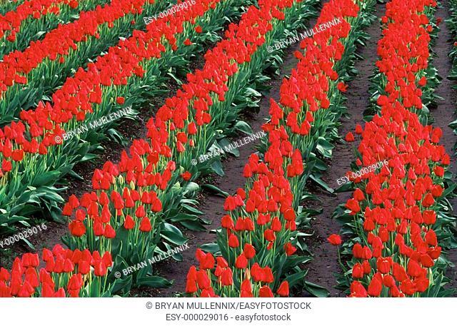 Tulip fields. Oregon. USA