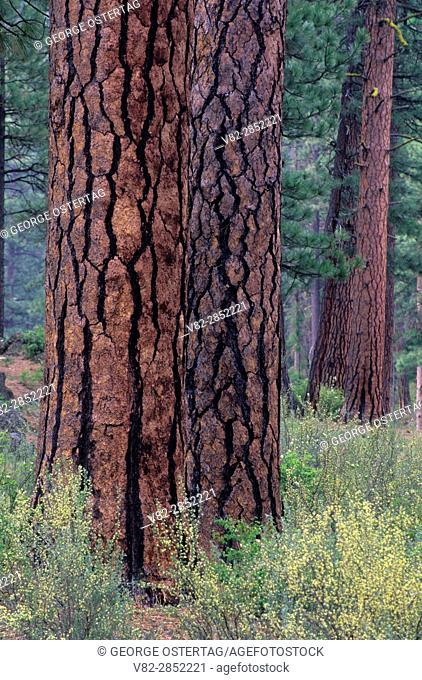 Ponderosa pine (Pinus ponderosa) trunk, Metolius Wild and Scenic River, Deschutes National Forest, Oregon