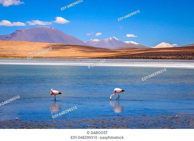 Pink flamingos in altiplano laguna, sud Lipez reserva Eduardo Avaroa, Bolivia