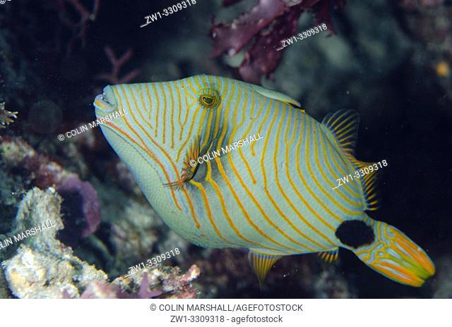 Orange-lined Triggerfish (Balistapus undulatus), Sawanderek Jetty dive site, Mansuar Island, Dampier Straits, Raja Ampat, Indonesia