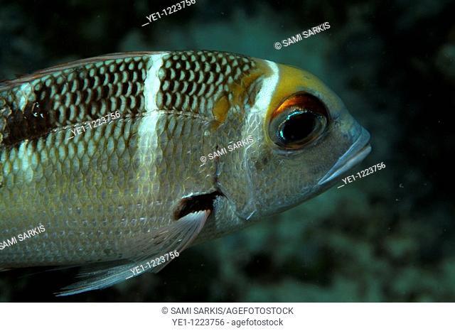 Chromis fish swimming, Bocifushi Wreck, South Male Atoll, Maldives