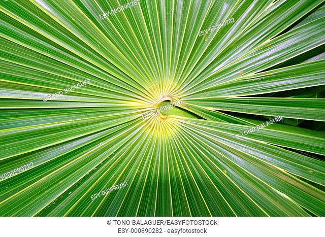 chit Florida Thatch Palm THRINAX RADIATA in mexico