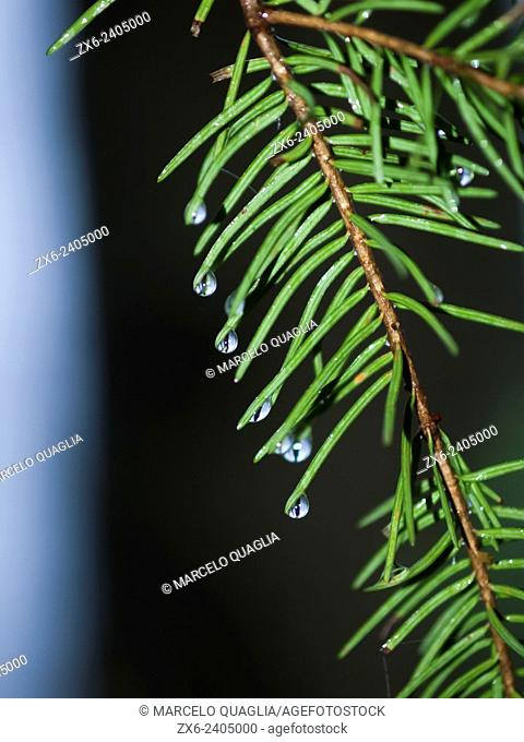Raindrops at European silver fir tree branch (Abies alba). Montseny Natural Park. Barcelona province, Catalonia, Spain