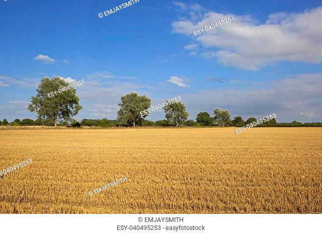 a row of white poplars beside a golden stubble field under a blue cloudy sky in late summer