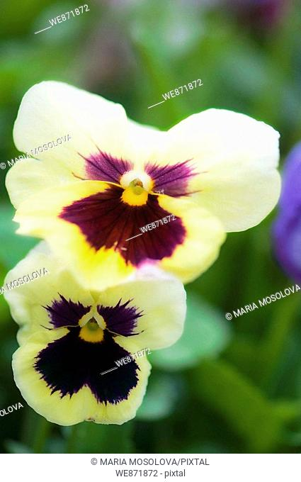 Two Pansy Flowers Viola x wittrockiana May 2008 Maryland, USA