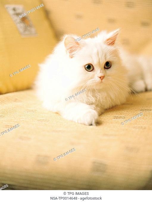 a white Turkish Angora cat