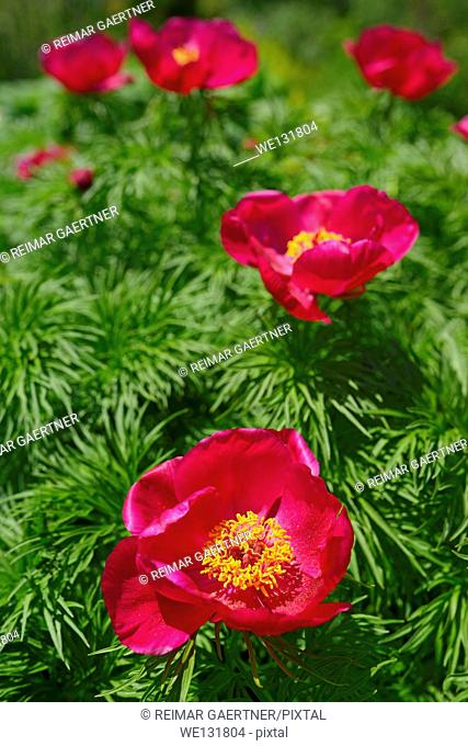 Rounded bush of Little Red Gem Rock Garden Peony with cutleaf foliage in full sun