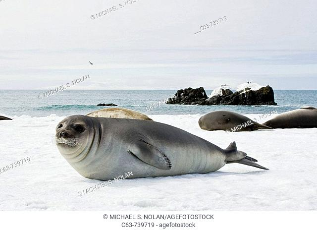 Newborn southern elephant seal (Mirounga leonina) on the beach at President Head on Snow Island in the South Shetland Island Group, Antarctica