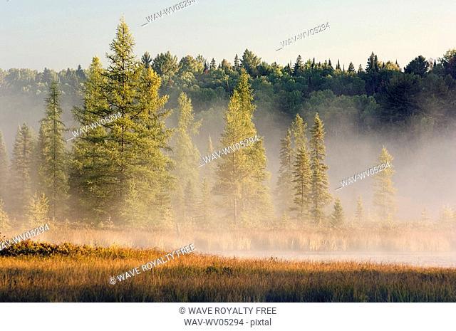 Wetlands at sunrise  Balsam fir, tamarack and Eastern white pine trees  Autumn  Algonquin Provincial Park, Ontario
