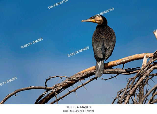 Great cormorant (Phalocrocorax carbo), Lake Naivasha, Kenya, Africa