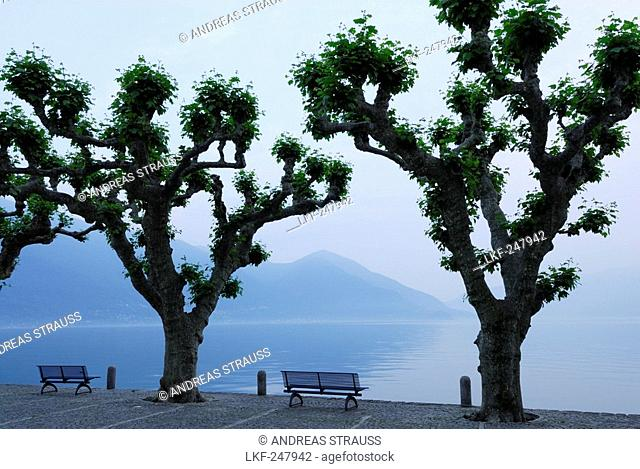 Benches under big sycamore trees with view towards lake Maggiore, Ascona, lake Maggiore, Lago Maggiore, Ticino, Switzerland