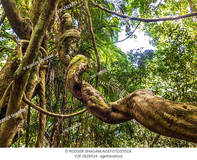 a twisted tree trunk ina vine-covered tropicl forest, Queensland, Australia