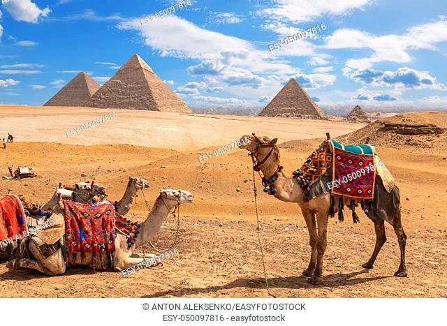Camels on a halt near the three Pyramids of Giza