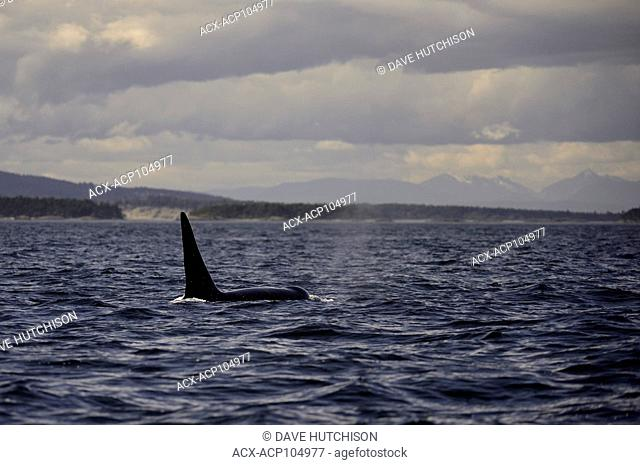 Orca whale photographed at Haro Straight near Georgia Straight, Vancouver Island, BC Canada