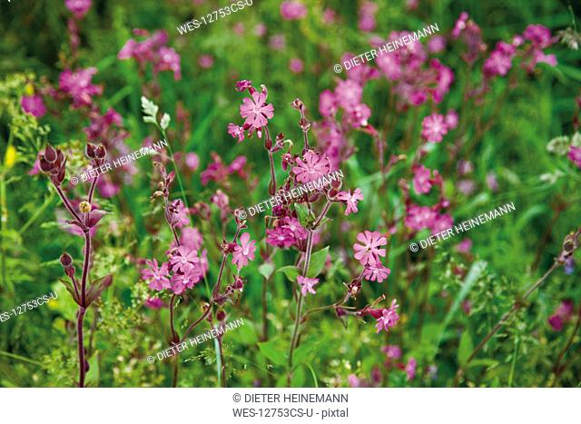Germany, Bavaria, Red campion