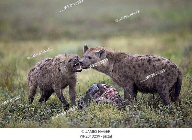 Spotted hyena (Crocuta crocuta) at a blue wildebeest (brindled gnu) carcass, Ngorongoro Conservation Area, UNESCO World Heritage Site, Serengeti, Tanzania