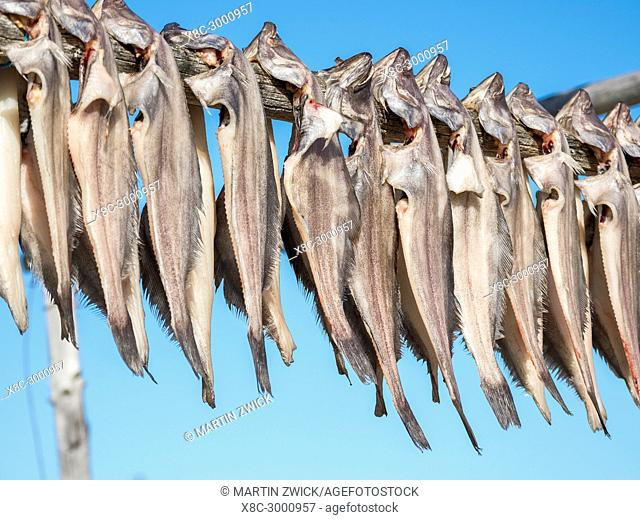 Halibut drying. The Inuit village Oqaatsut (once called Rodebay) located in the Disko Bay. America, North America, Greenland, Denmark