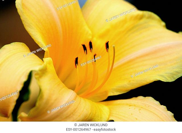 Yellow asiatic lily on black