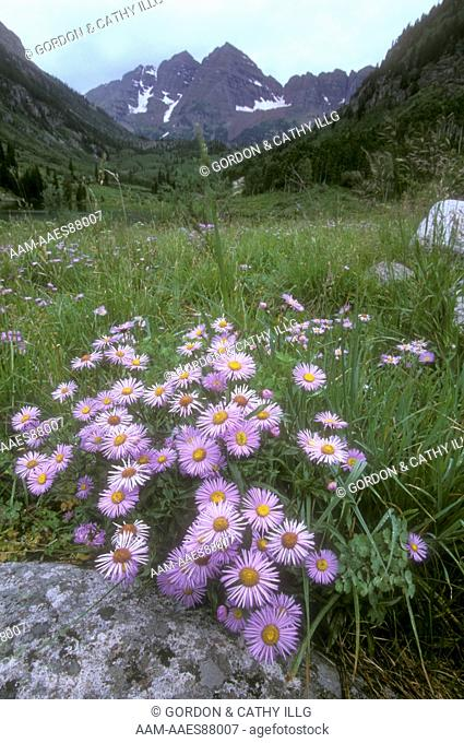 Tansy Asters in bloom below the Maroon Bells, Colorado White River Natl Forest